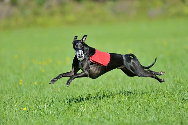 Greyhound lure coursing stock photo