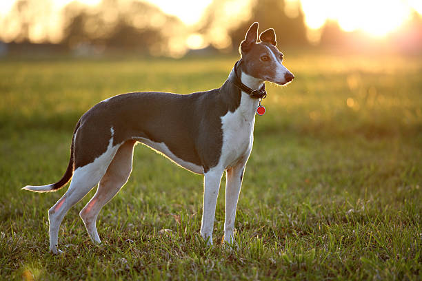 Greyhound on field  whippet stock pictures, royalty-free photos & images
