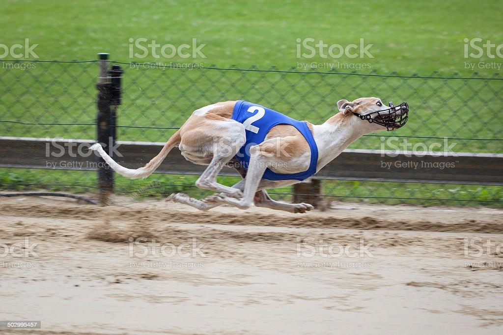 Greyhound on racetrack stock photo