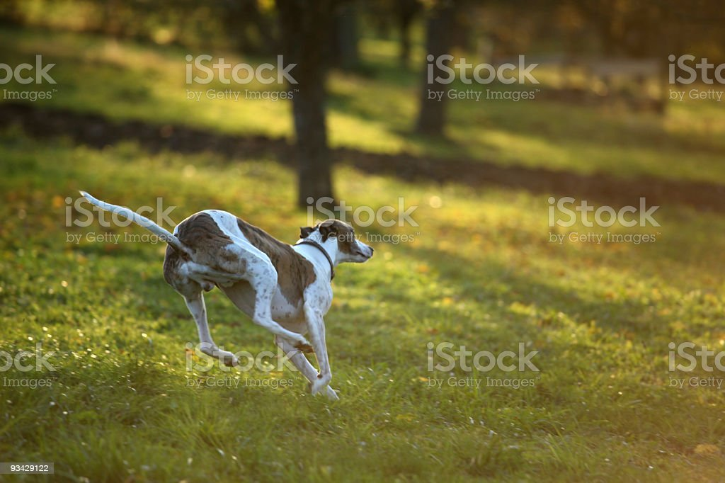 Greyhound on the chase royalty-free stock photo