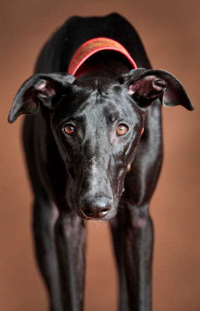 Greyhound stock photo