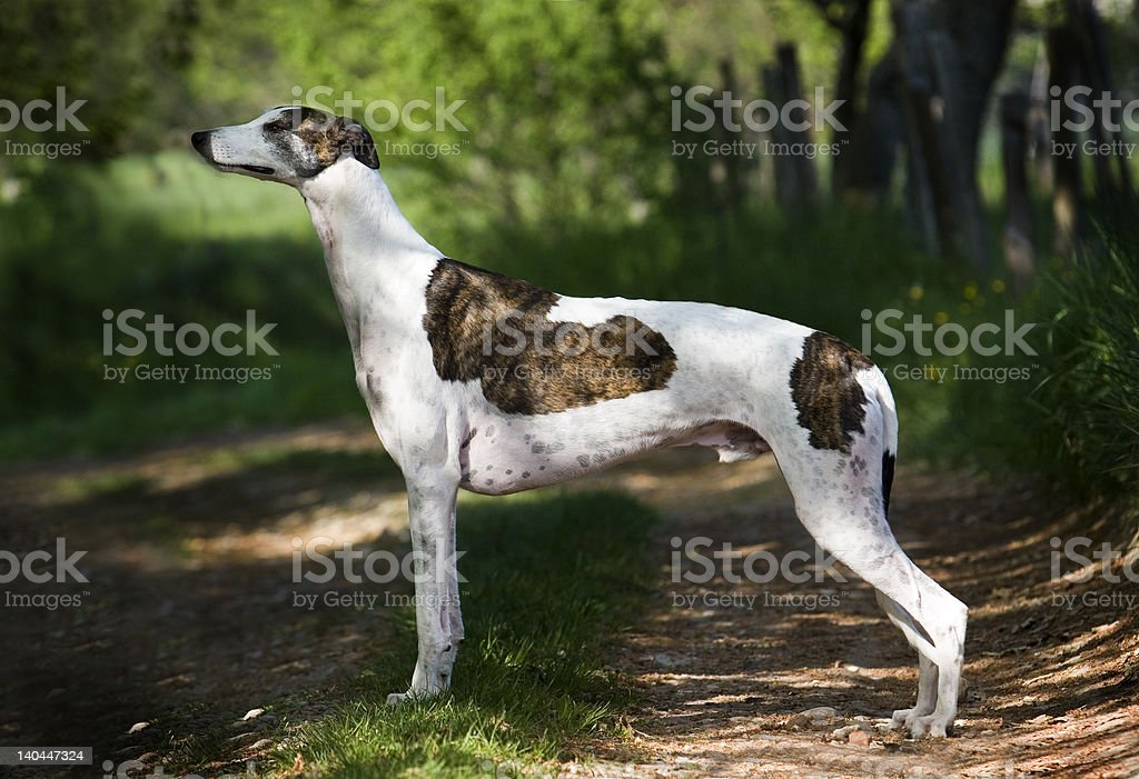 greyhound royalty-free stock photo