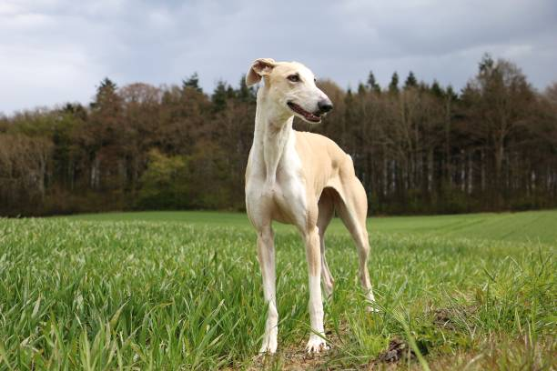 Windhundportait im garten Windhund steht im garten whippet stock pictures, royalty-free photos & images