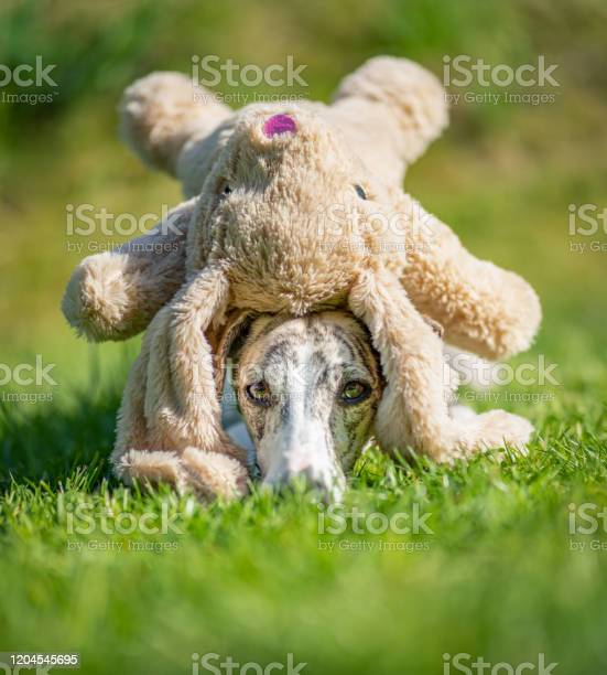 Greyhound portrait of a pretty whippet bitch with a soft toy picture id1204545695?b=1&k=6&m=1204545695&s=612x612&h=xsgldsulhn7fivbcpfprtzqgibjfaw4ip desdtsjue=