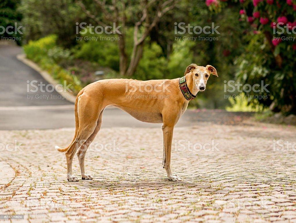 Greyhound (Canis familiaris) portrait stock photo