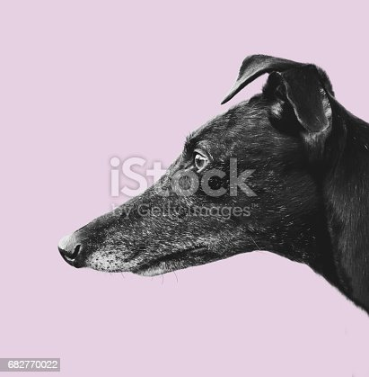 istock Greyhound Profile Design 682770022