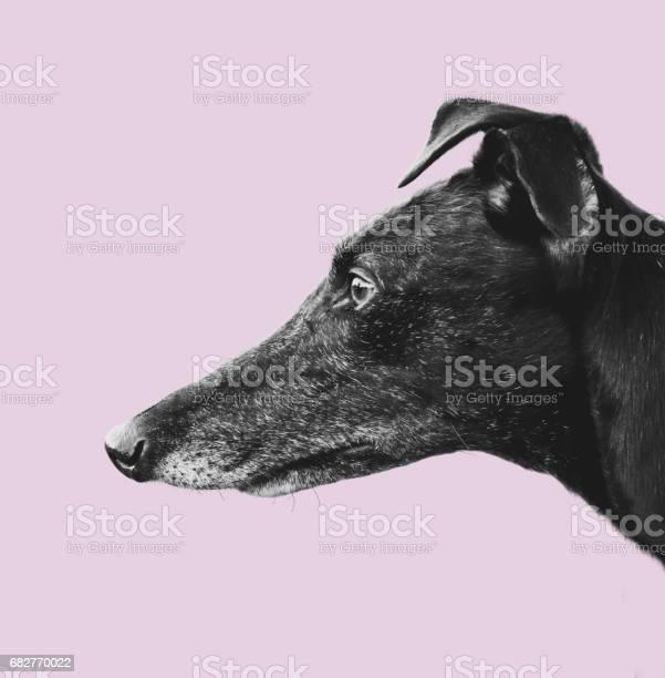 Greyhound profile design picture id682770022?b=1&k=6&m=682770022&s=612x612&h=4agd1tavg7z3bwsnuffqubaysbxqrrdwhmmfvjez6xk=
