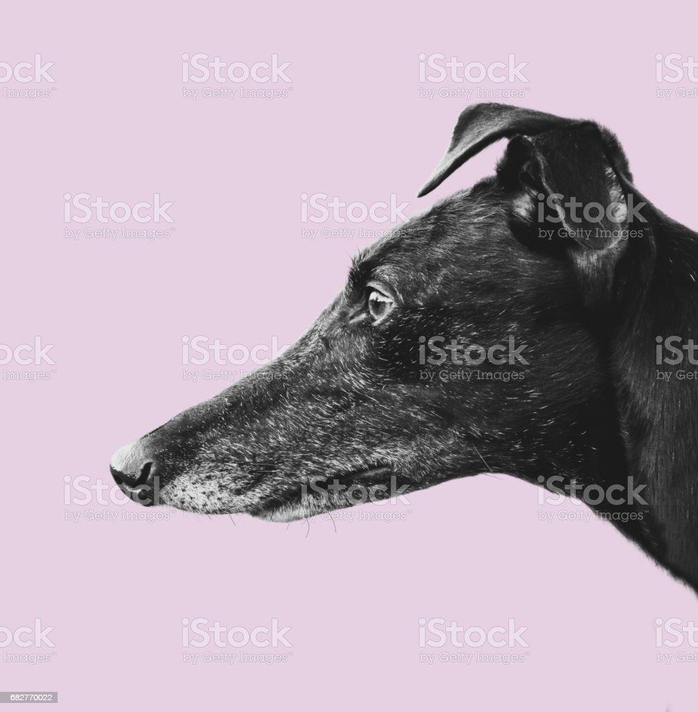 Greyhound Profile Design stock photo