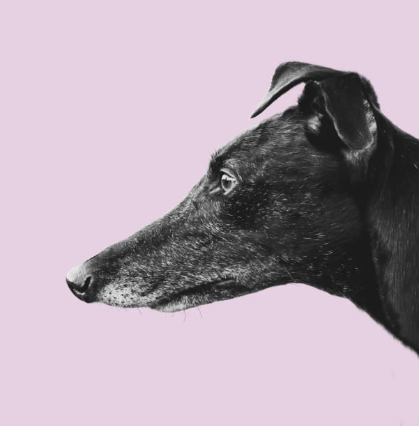 Greyhound Profile Design Isolated Black Greyhound Dog Profile On A Pastel Pink Backgroud whippet stock pictures, royalty-free photos & images