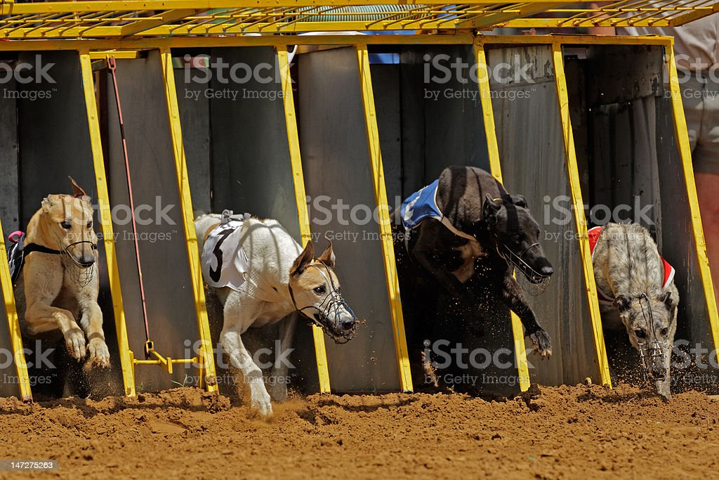 Greyhound racing royalty-free stock photo