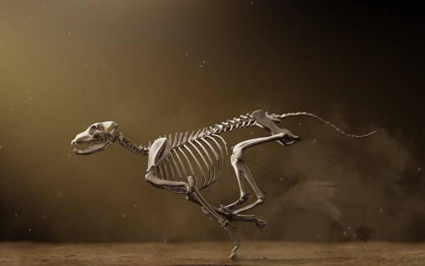 Greyhound skeleton running on dirt track, anatomically correct bone structure and pose stock photo