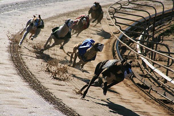 Greyhounds 1 dogs stock photo