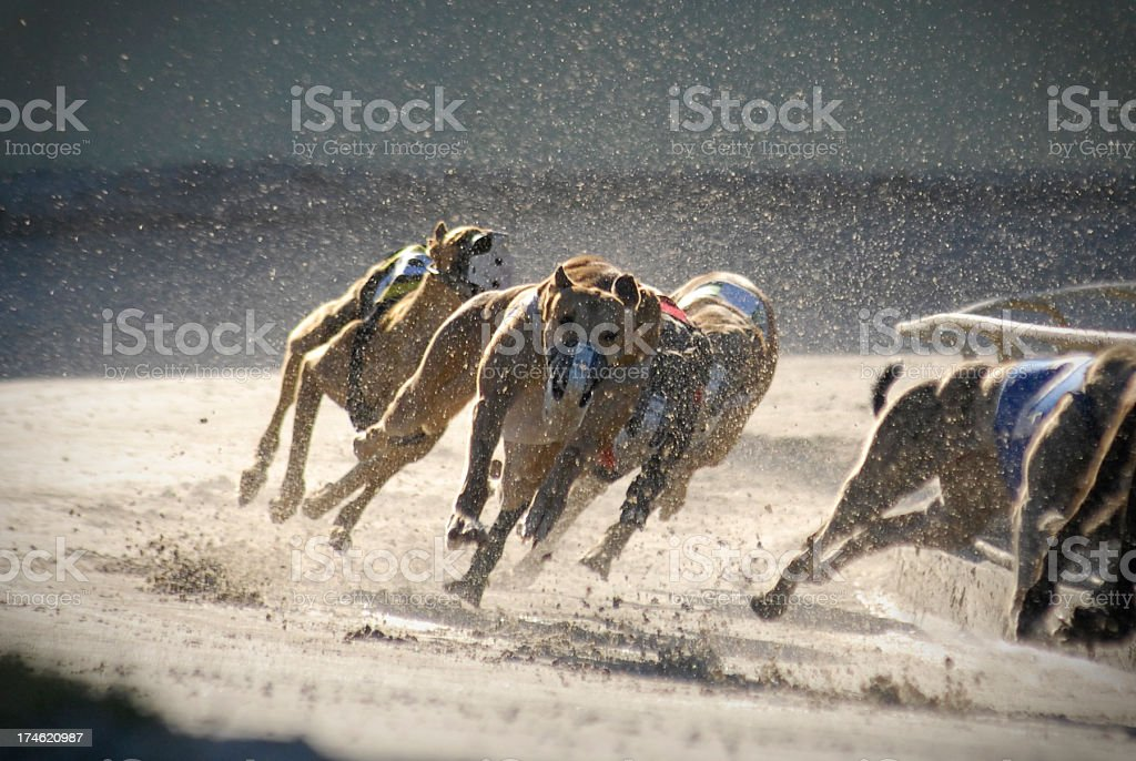 greyhounds 4 of 7 stock photo