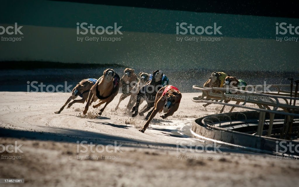 Greyhounds 5 of 7 royalty-free stock photo