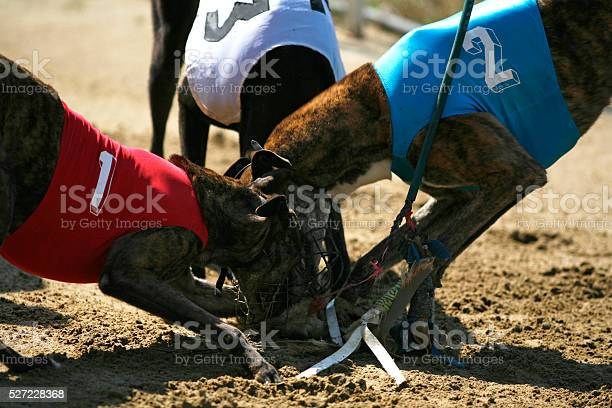 Greyhounds caught the rabbit on the race picture id527228368?b=1&k=6&m=527228368&s=612x612&h=snezgbohlo6difdnvvq3apmdt59ugixhmf9nw0d1osk=
