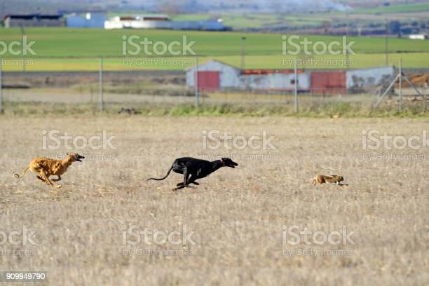 Greyhounds chasing a hare picture id909949790?b=1&k=6&m=909949790&s=612x612&h=4xttel8p78lbyo7j1s550 m8gohfxs34ufg5bqyinhu=