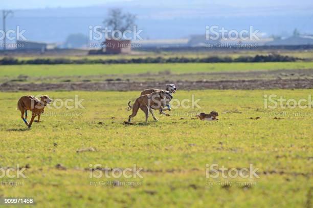Greyhounds chasing a hare picture id909971458?b=1&k=6&m=909971458&s=612x612&h=hv7 gaqi9lf8djmuddzlcplkktjfzqyfzxxsvv5jkum=