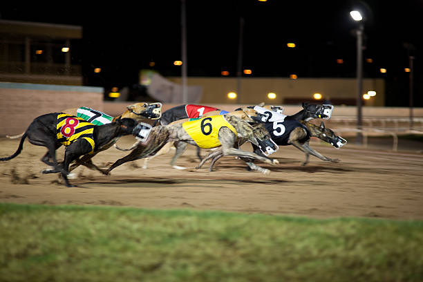 Greyhounds in motion.