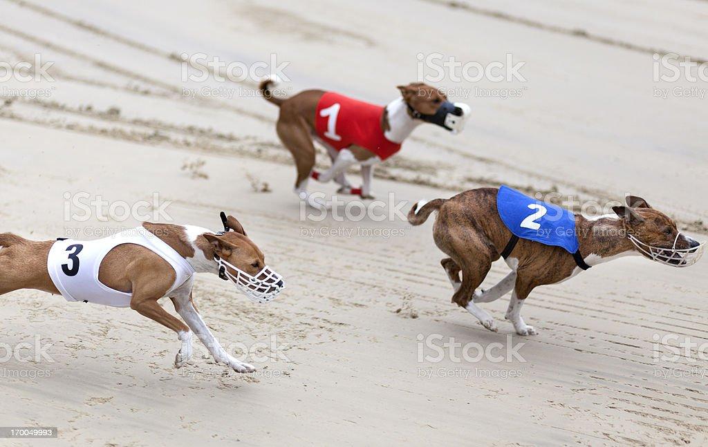 Greyhounds on racetrack stock photo
