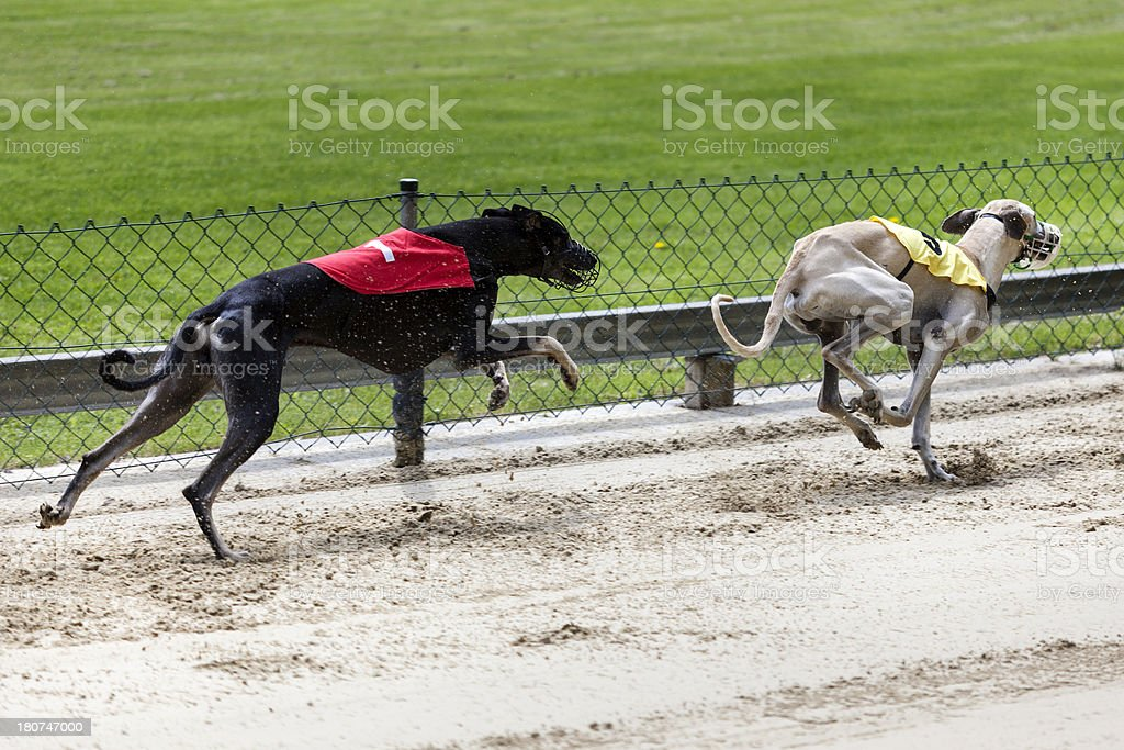 Greyhounds on racetrack royalty-free stock photo