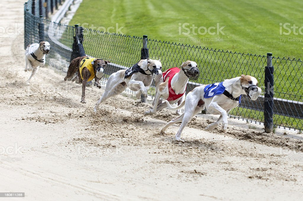 Greyhounds auf racetrack – Foto