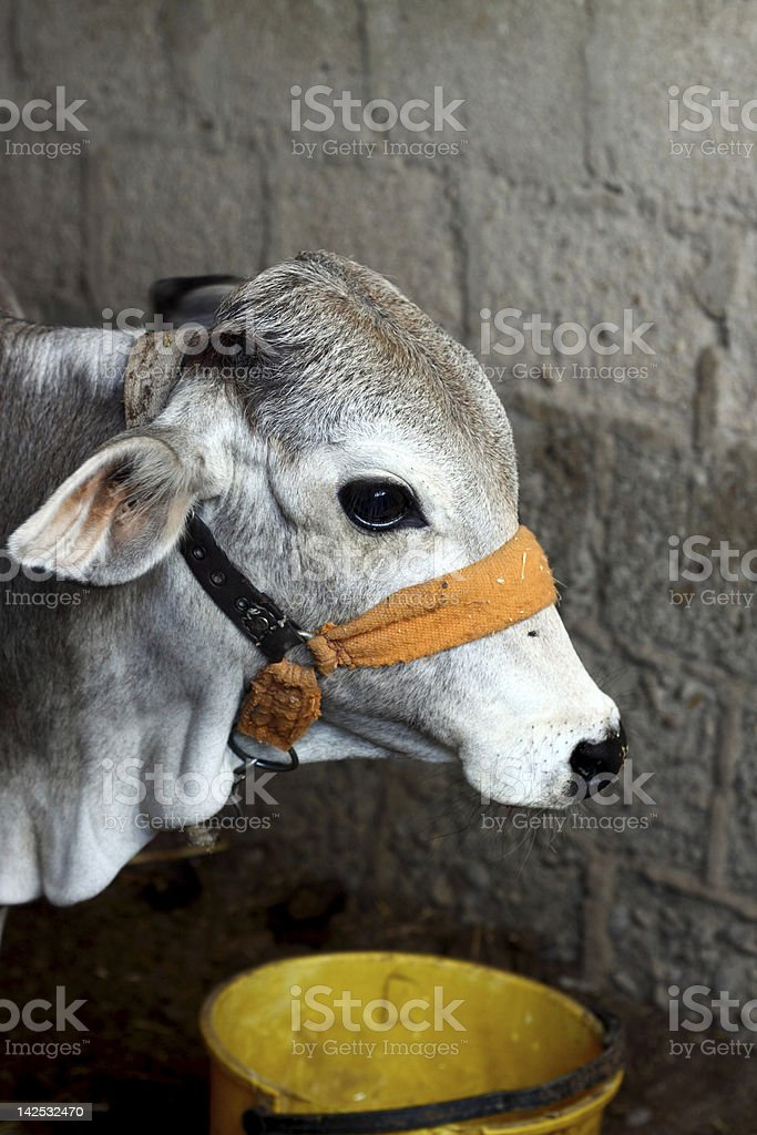 Greyish Calf stock photo