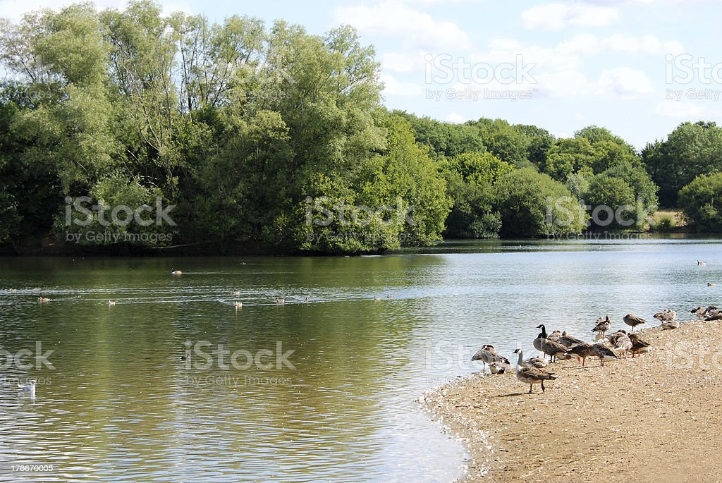 Greylag and Canada geese by a lake in the summer royalty-free stock photo