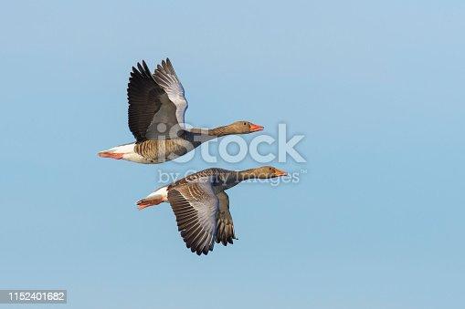 Greylag geese, Anser anser, flying over lake, Germany, Europe