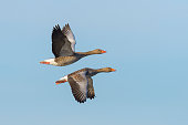 Greylag geese, Anser anser, flying over lake, Germany, Europe