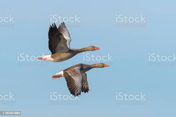 Greylag geese flying picture id1152401682?b=1&k=6&m=1152401682&s=612x612&h=a6k1b8stjqye6hlcvgcpkd7wgqw0rsie2w vr1b4xzo=