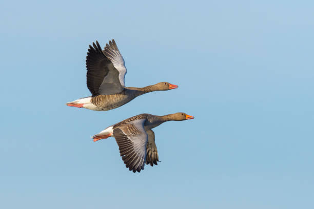 Greylag geese flying Greylag geese, Anser anser, flying over lake, Germany, Europe lake waterfowl stock pictures, royalty-free photos & images