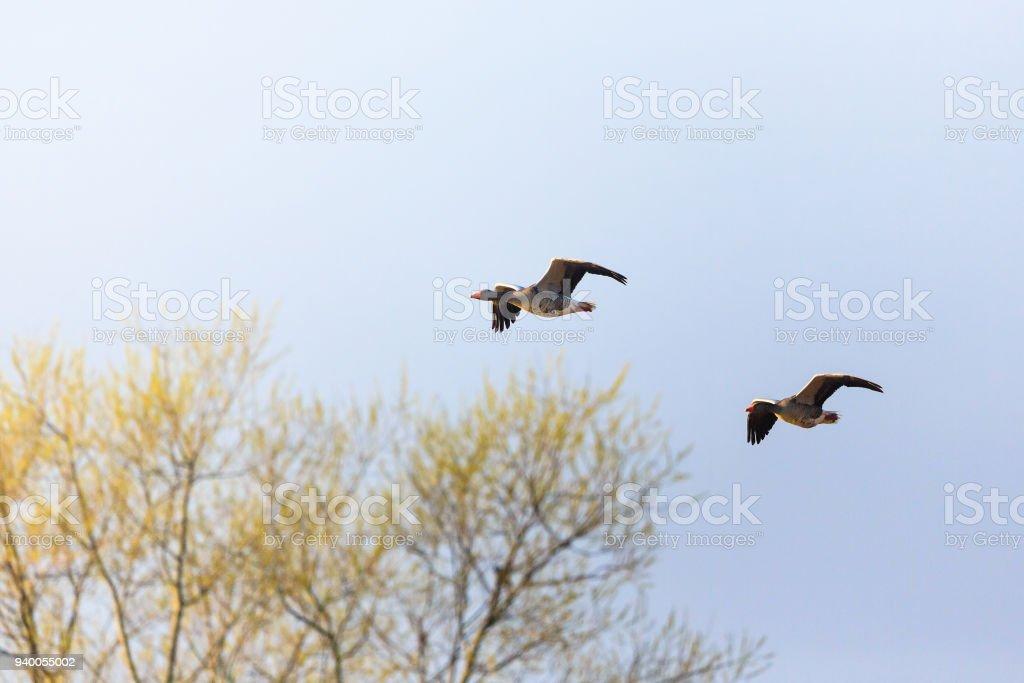 Greylag geese flying stock photo
