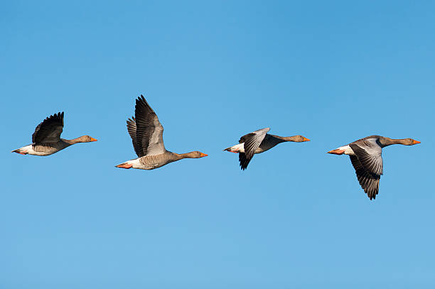 Greylag Geese in flight Flock of migrating greylag geese. lake waterfowl stock pictures, royalty-free photos & images
