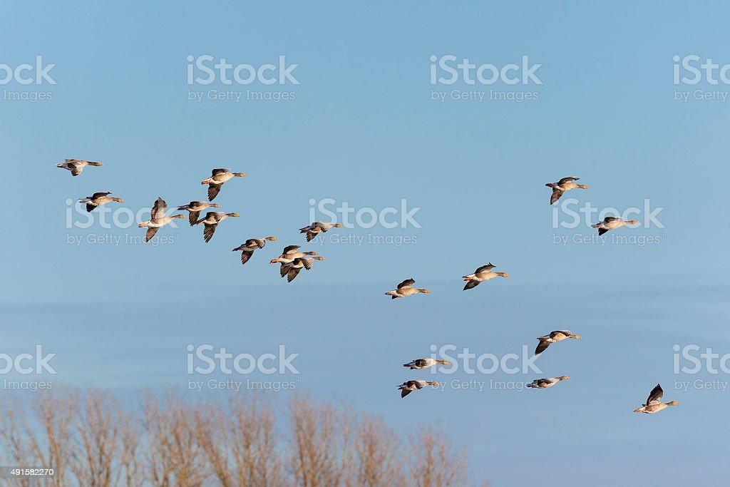 Greylag Geese in flight stock photo