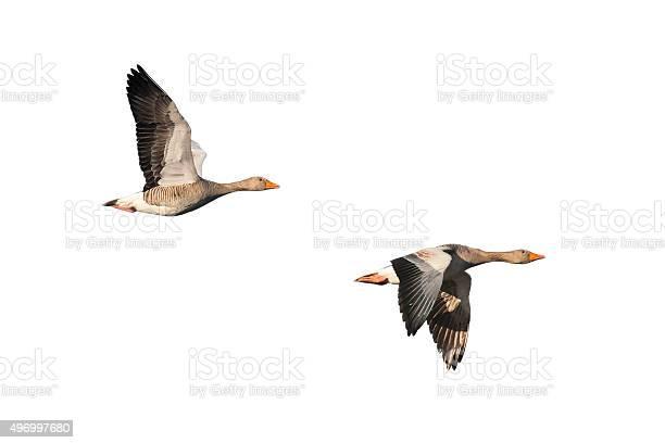 Greylag geese in flight picture id496997680?b=1&k=6&m=496997680&s=612x612&h=qpxiqp6ty hgjpdp3tkzrilw5icrajyf jisdv cypm=