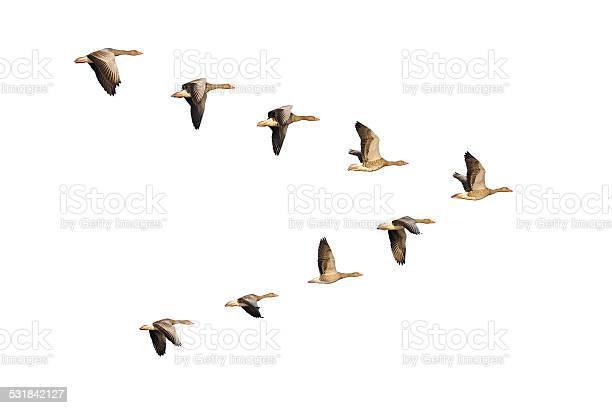 Greylag geese in flight picture id531842127?b=1&k=6&m=531842127&s=612x612&h=mz4fzpx1zutaiatklnz0hdrdm8jp3us4u4dce8s3sdy=