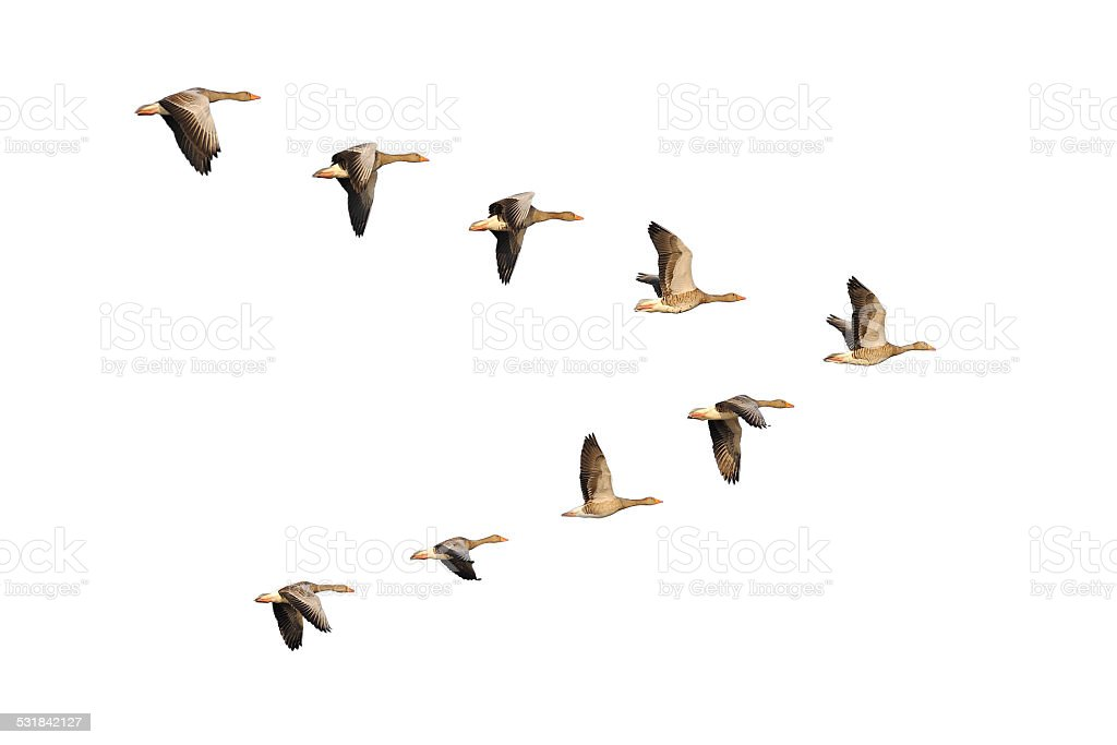 Greylag Geese in flight stock photo