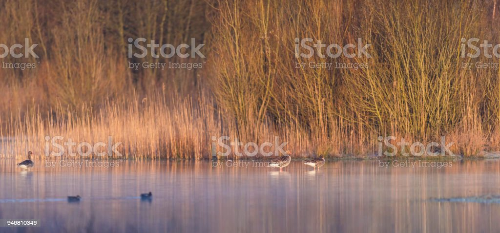 Greylag geese in misty lake lit by morning sun. stock photo