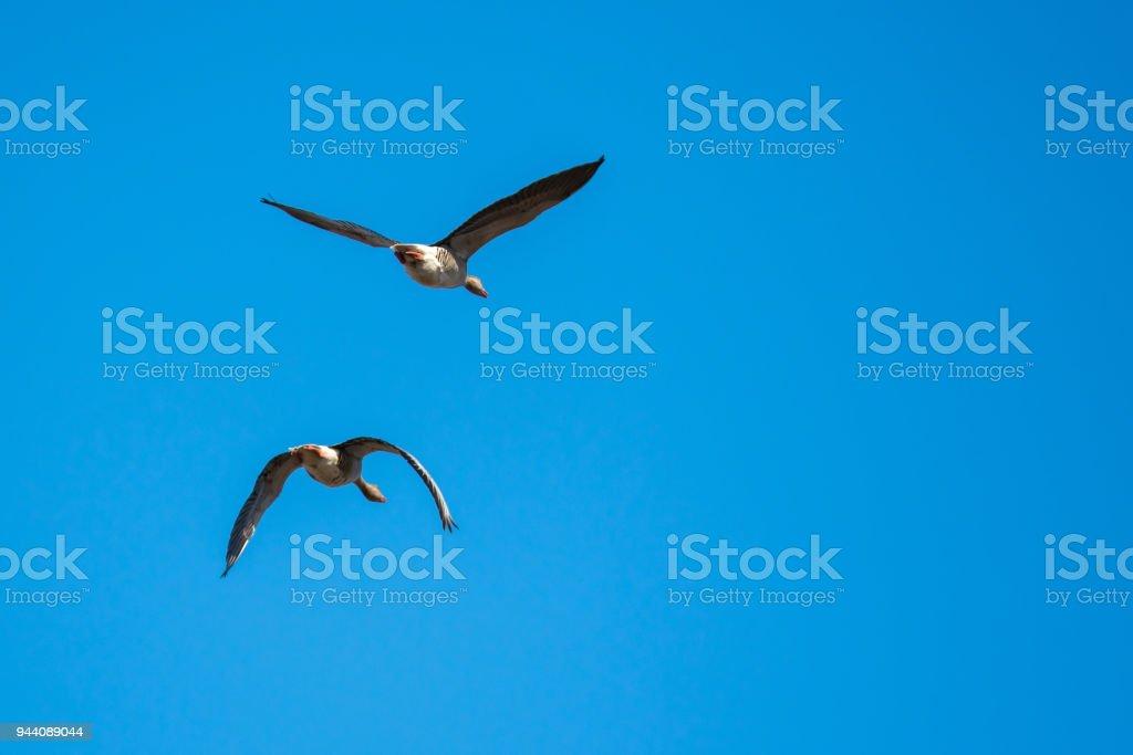 Greylag geese mid flight stock photo