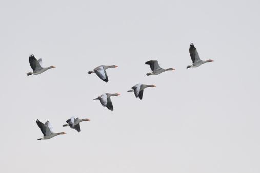Flock of greylag geese, Anser anser, flying in v-formation.