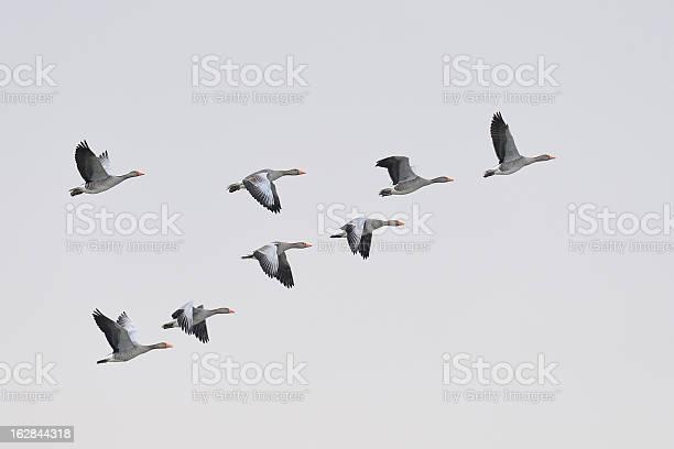 Greylag geese migration picture id162844318?b=1&k=6&m=162844318&s=612x612&h=hrzz1ndhgggubmogcydhcbgal05zebk2lf4f3mdsofk=