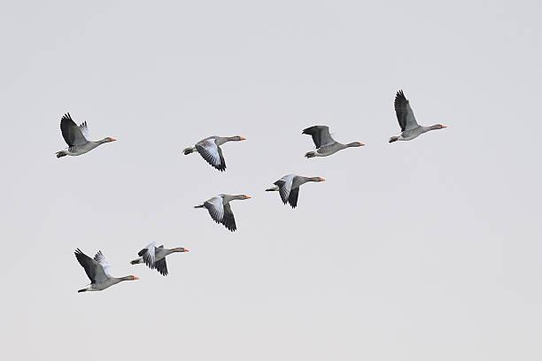 Greylag geese migration picture id162844318?b=1&k=6&m=162844318&s=612x612&w=0&h= t9 ogexvgnmiun igfa0wrws0jszi 6mtmrocktdmy=