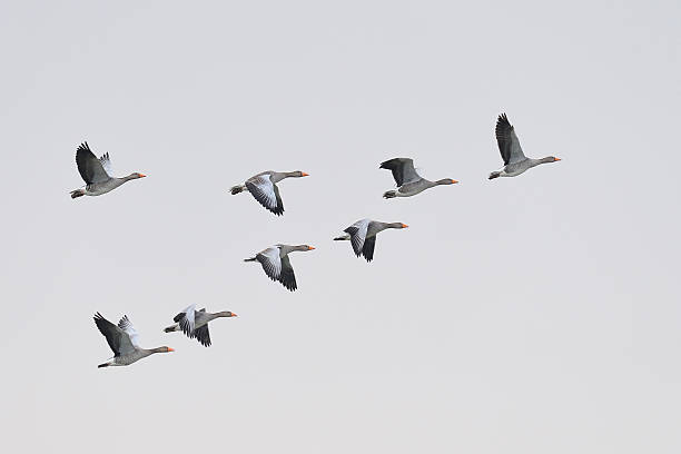 Greylag Geese migration stock photo