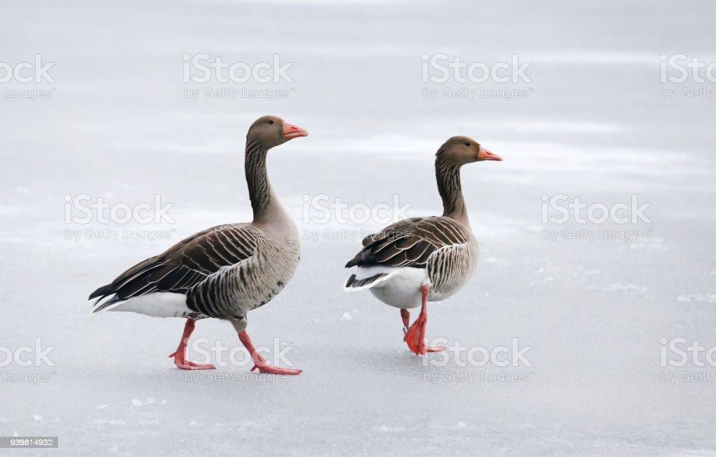 Greylag geese on frozen lake stock photo
