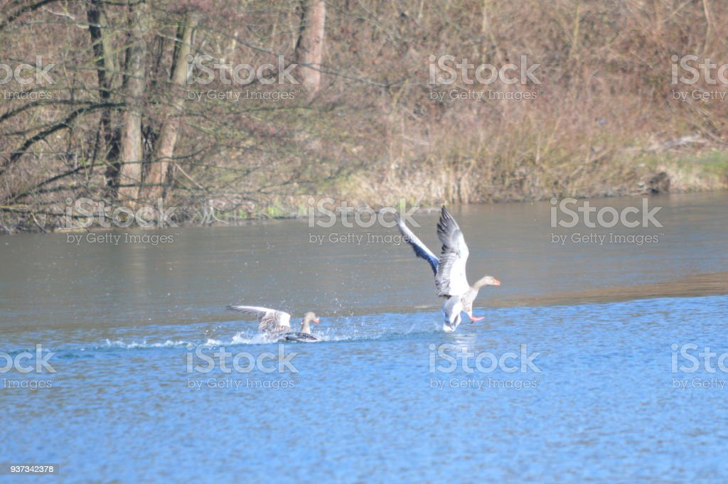 Greylag geese performing their courtship display stock photo