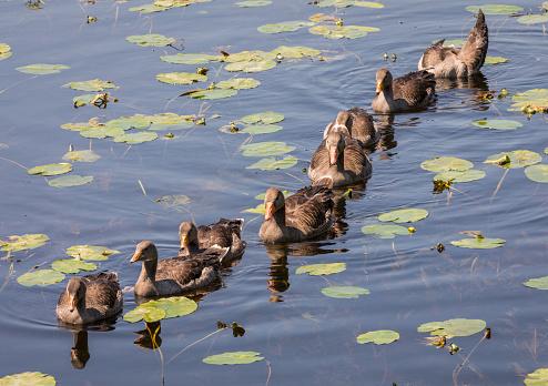 Greylag Geese - Shapwick Heath Nature Reserve - Somerset - England