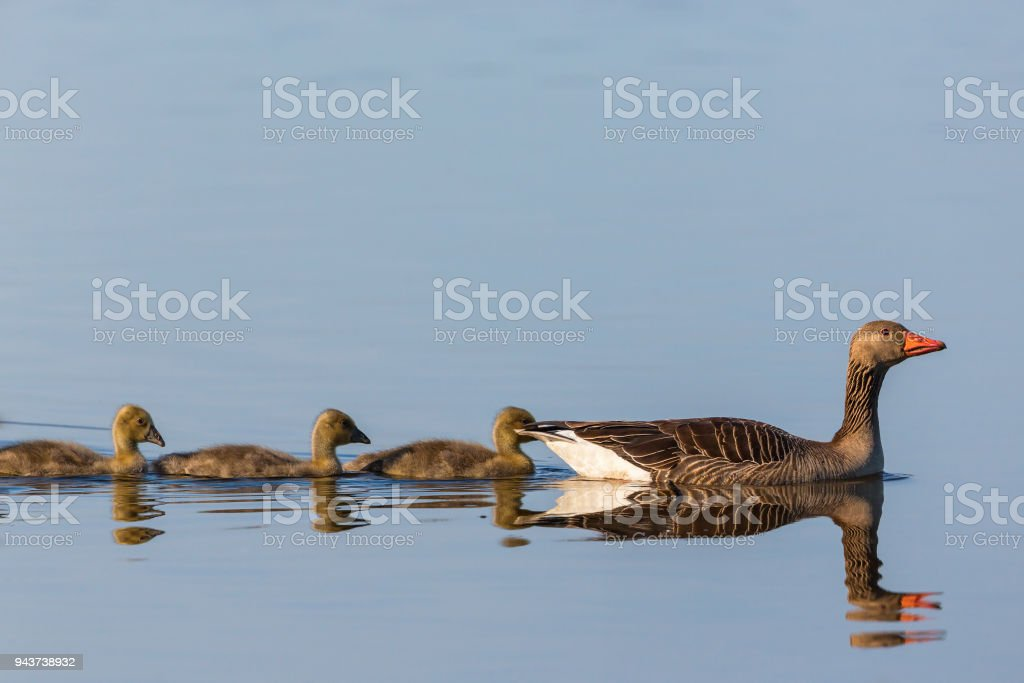 Greylag geese with goslings in a row stock photo