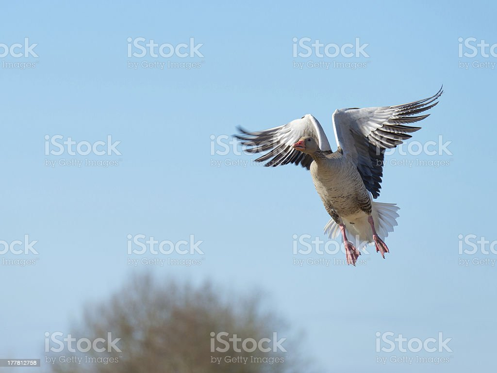 Greylag goose flying in a blue sky royalty-free stock photo