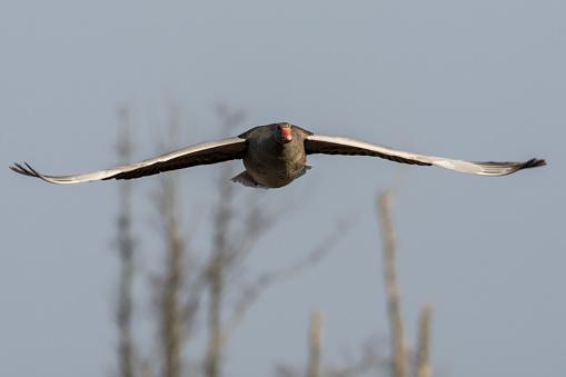 기러기 거 위 거 위 Anser 안 거위-새에 대한 스톡 사진 및 기타 이미지
