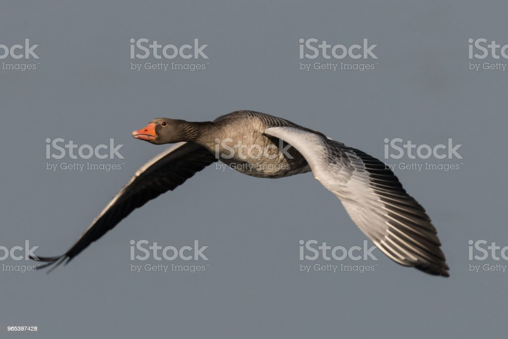 greylag goose  geese, anser anse royalty-free stock photo